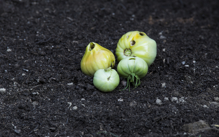 nasty: rotten tomatoes on ground with nasty holes with caterpillar carving inside .
