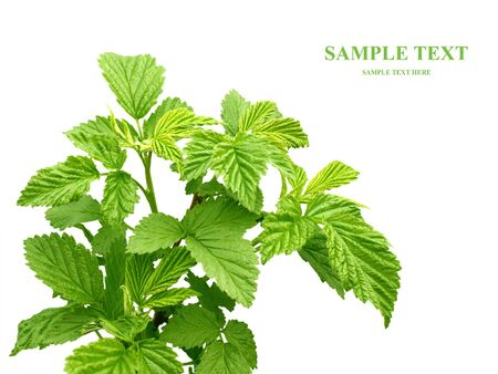 Leaves of a raspberry - over white photo