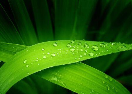 green leafs: Rain drops on a green leafs