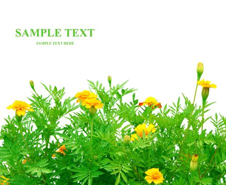 patula: Flowers Tagetes patula - isolated over white