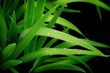 Rain drops on a green leafs photo
