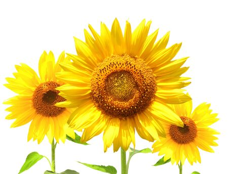 Yellow sunflowers - isolated over white photo