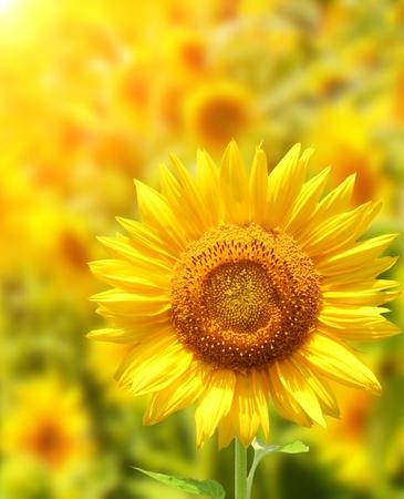 zonnebloem: Gele zonne bloemen en felle zon