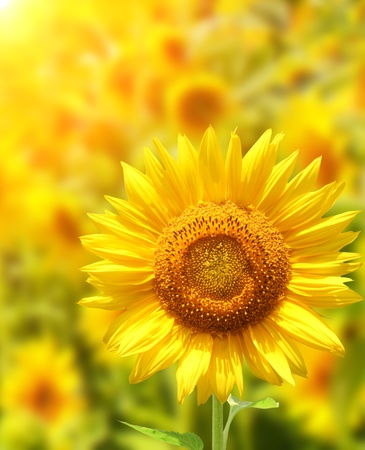 Yellow sunflowers and bright sun photo