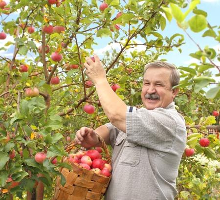 Senior Bauer, Ernte einen Apfel Standard-Bild