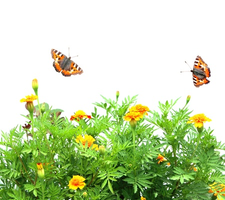 tagetes: Flowers Tagetes patula and butterflys. Isolated over white