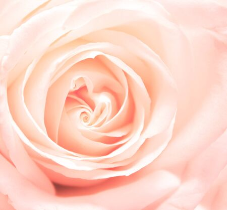 rosas rosadas: Rosa rosa suavidad. Plaza de fotos Foto de archivo