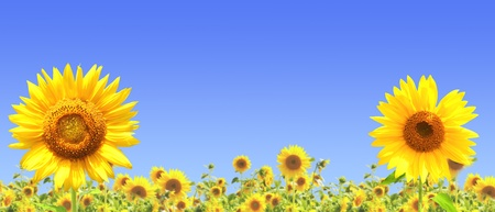 golden daisy: Yellow sunflowers and blue sky