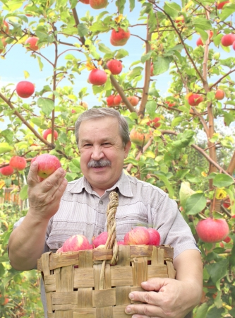 Elderly man, harvesting apples photo