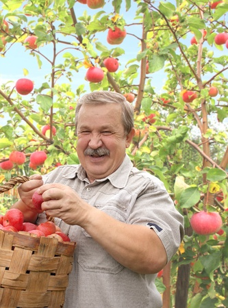 Elderly man, harvesting apples photo