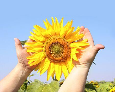 Sunflower in hands of an elderly farmer photo