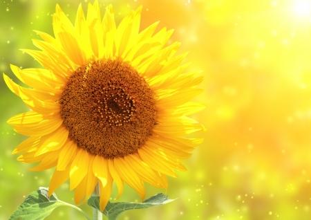 Bright yellow sunflower and sun Stock Photo - 16550227