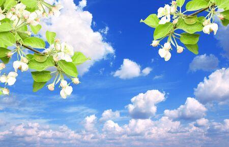 flowering plant: Flowers of apple over blue sky