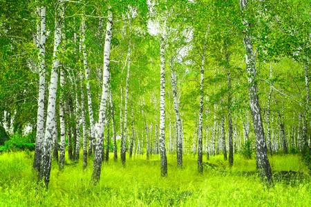 arboleda: Hermoso paisaje - birchwood verano