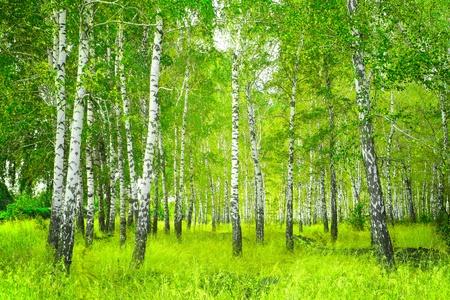 Schöne Landschaft - Sommer Birkenholz Standard-Bild