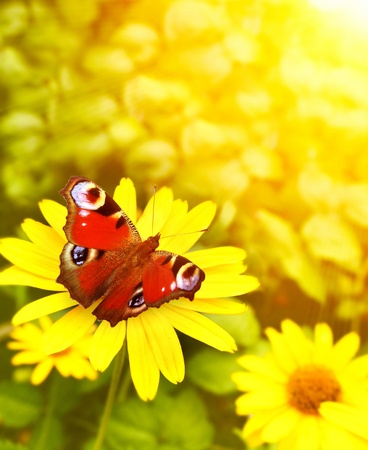 yellow: Bright butterfly on yellow flowers