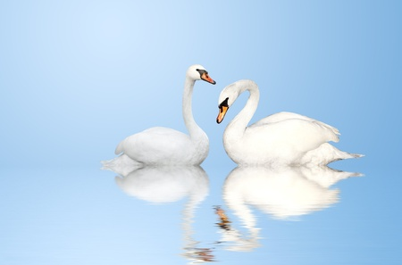 swimming swan: Two white swans on blue background