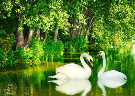 mute swan: Two white swans. Summer day Stock Photo