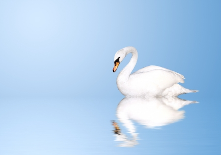 Mute swan on blue water photo
