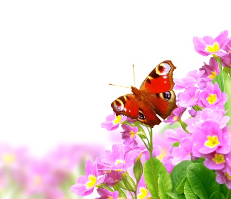 Butterfly on spring flowers of lilac color. Isolated over white photo