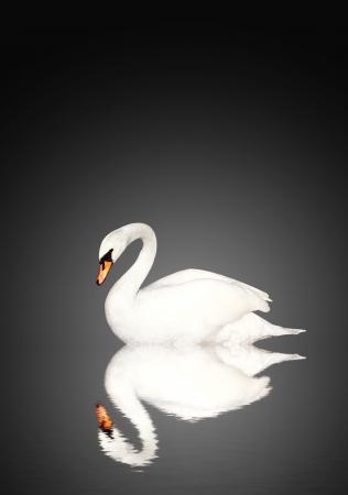 mute swan: Mute swan on black background