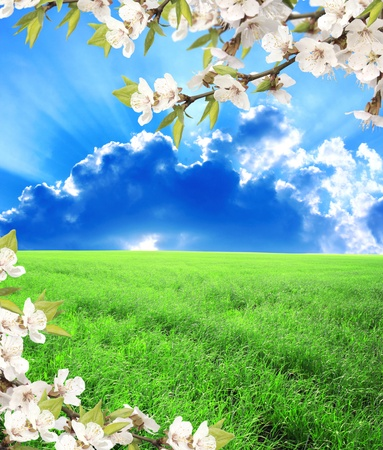 flowering field: Beautiful summer landscape. A green field, blue sky and flower of cherry