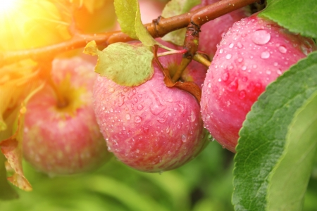 garden of eden: Rain drops on ripe apples Stock Photo