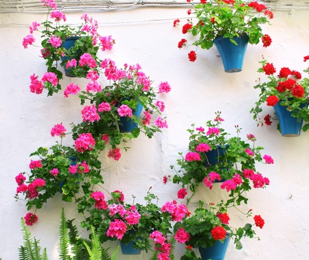 Flowerpots with geranium on stucco wall photo