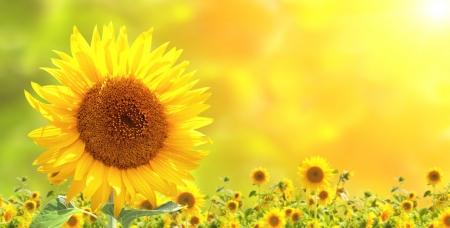 Heldere gele zonnebloemen en zon Stockfoto