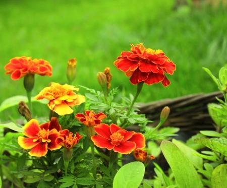 patula: Flowers of Tagetes patula on green background Stock Photo