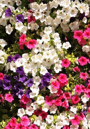 petunia: Many flowers of petunias