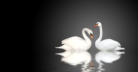 mute swan: Two white swans on black background