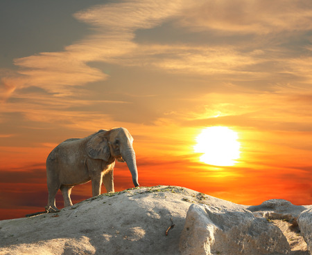 dignified: Stately african elephant at sunset
