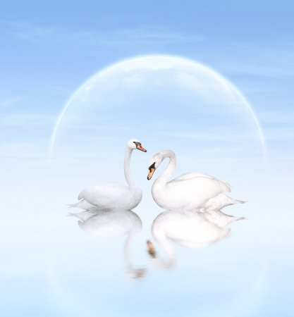 mute swan: Two white swans on blue background