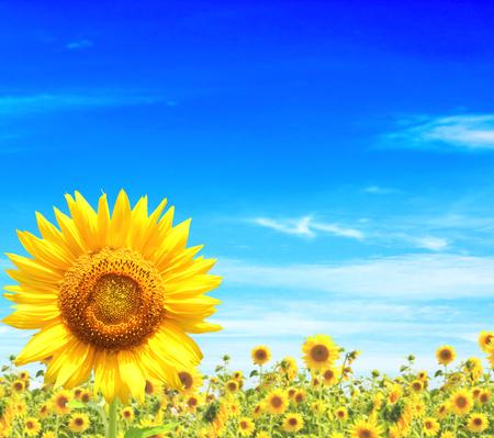 Gele zonnebloemen en de blauwe hemel Stockfoto