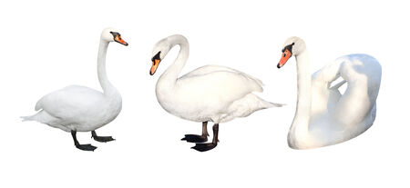 Three white swans. Isolated on white background photo