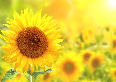 明るい黄色のひまわりと太陽 写真素材 - 28249809
