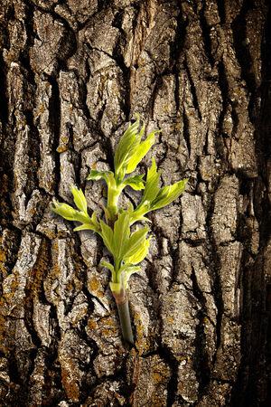 origins: New green leaf on old bark