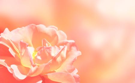 softness: Softness pink rose on pink  Stock Photo