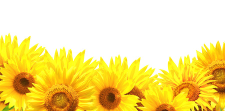 Border with sunflowers. Isolated Stock Photo