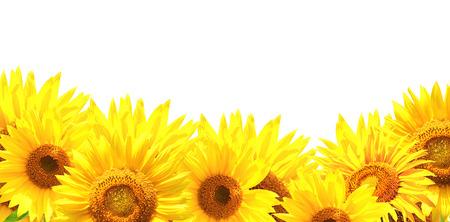 Grens met zonnebloemen. Geïsoleerd Stockfoto