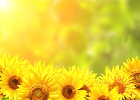 Bright yellow sunflowers and sun Stock Photo - 28677687