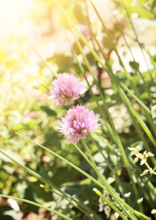 Flowers of clover of pink color photo