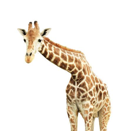 jirafa fondo blanco: Jirafa. Aislado en el fondo blanco