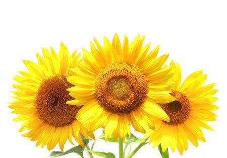 Three sunflowers. Isolated on white background photo