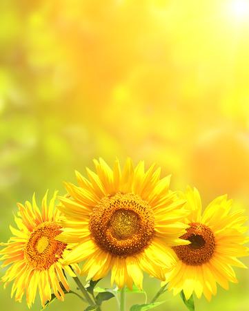 sunflower field: Bright yellow sunflowers and sun