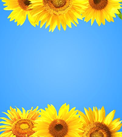 golden daisy: Border with many yellow sunflowers. Isolated on blue background Stock Photo
