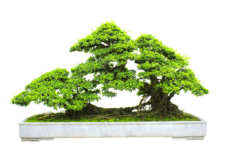 bonsai: Bonsai. Isolated on white background