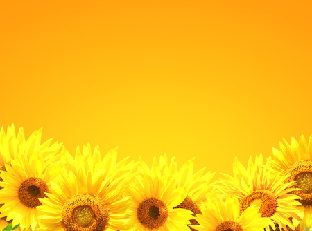 Border with many yellow sunflowers photo