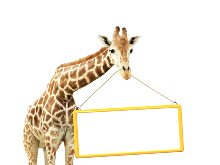 giraffe white background: Jirafa con el letrero. Aislado en el fondo blanco